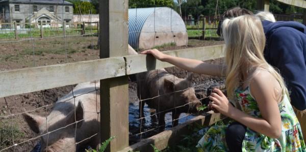 Stroking pigs at Shugborough